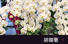 胡蝶蘭 移転祝い花 開店祝い花