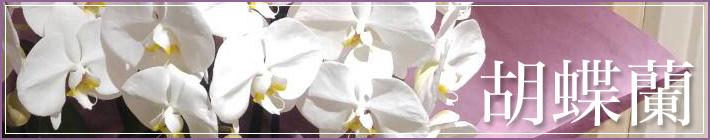 お祝い胡蝶蘭 二子玉川の花屋